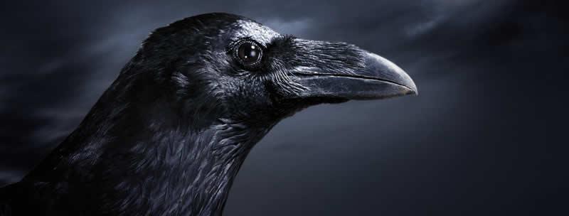 Psychopomp Raven